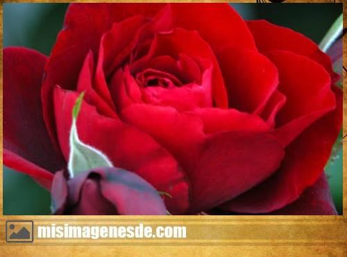 fotos de rosa