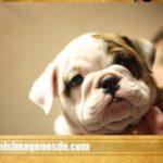 Imágenes de bulldog ingles