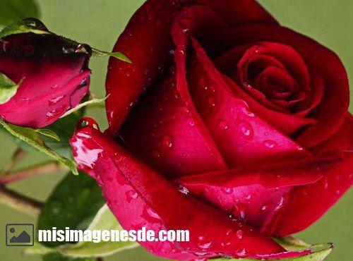 imagenes de rosas