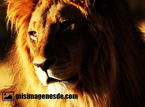 imagenes de leones