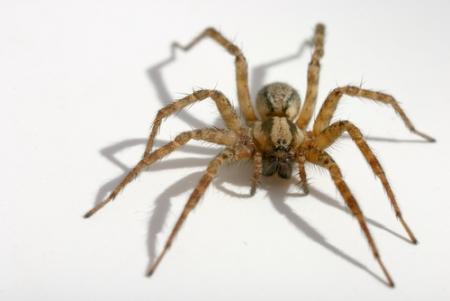 arañas venenosas