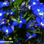 Imágenes de flores azules