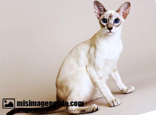 gatos egipcios