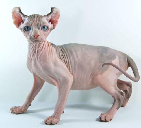 gatos sin pelo