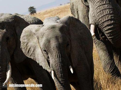 imagenes de elefantes