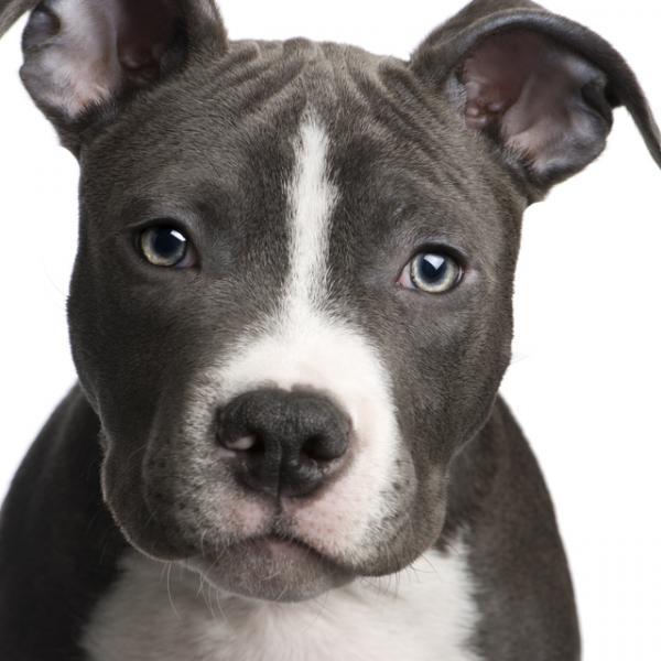 imagenes de pitbull