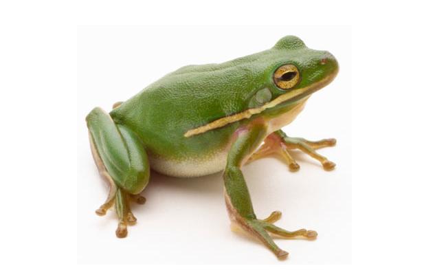imagenes de ranas