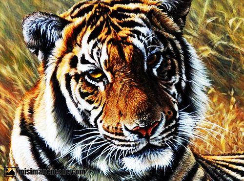 imagenes de tigres