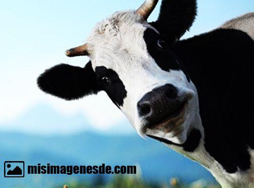 imagenes de vacas
