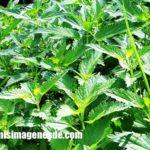 Imágenes de plantas venenosas
