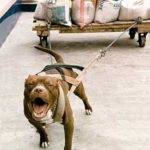 Imágenes de perros de pelea