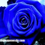 Imágenes de rosas
