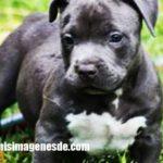 Imágenes de Blue Nose pitbull