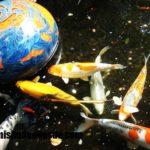 Imágenes de peces Koi