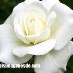 Imágenes de rosas blancas