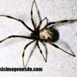 Imágenes de arañas venenosas
