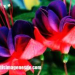 Imágenes de color fucsia