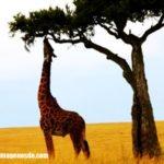 Imágenes de jirafas