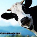 Imágenes de vacas