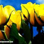Imágenes de rosas amarillas